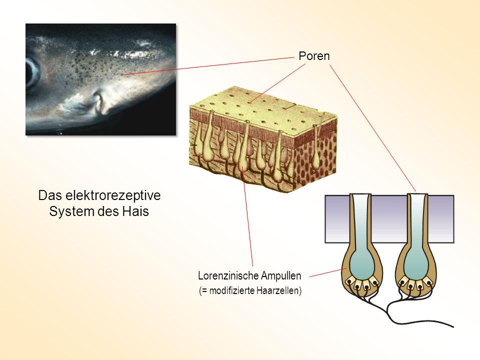 Das elektrorezeptive System des Hais