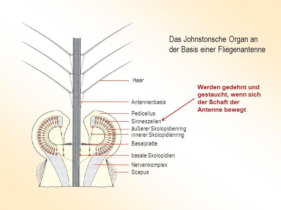 Das Johnstonsche Organ an der Basis einer Fliegenantenne