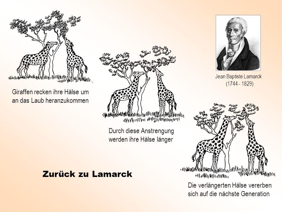 Jean Baptiste Lamarck(1744 - 1829) Giraffen recken ihre Hälse um an das Laub heranzukommen. Durch diese Anstrengung werden ihre Hälse länger.
