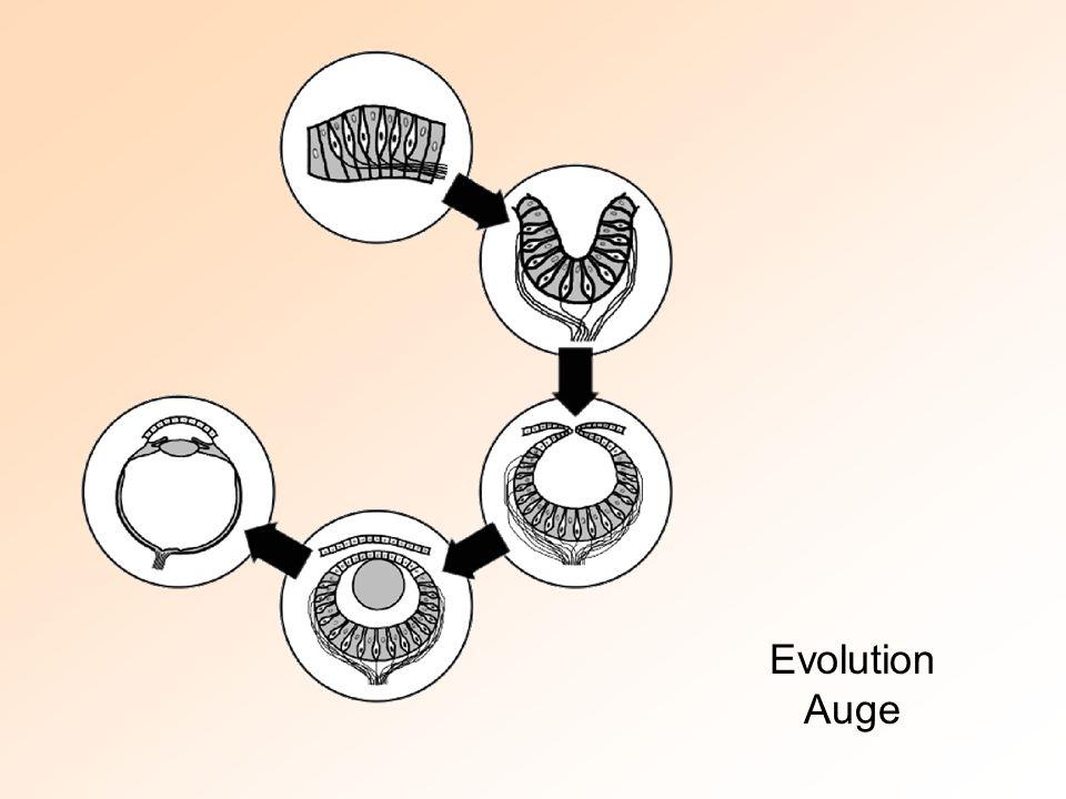 Evolution Auge