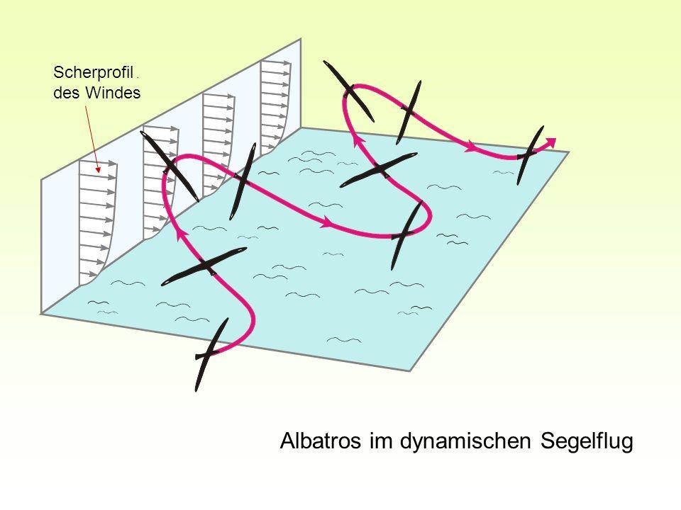 Albatros im dynamischen Segelflug