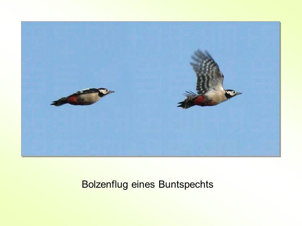 Bolzenflug eines Buntspechts