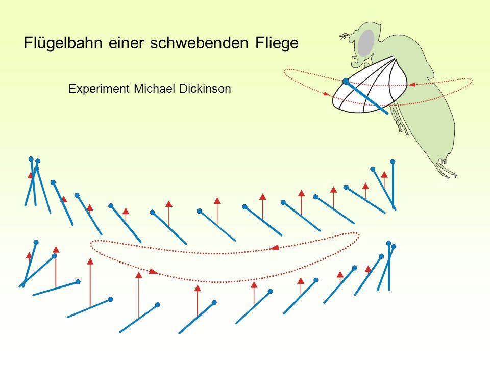 Flügelbahn einer schwebenden Fliege