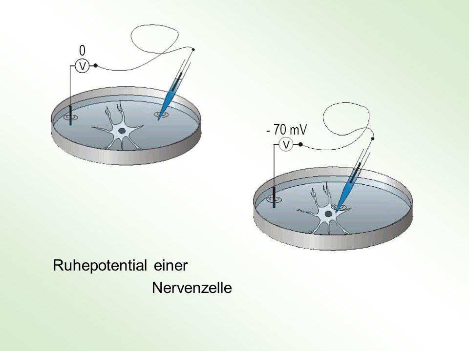 - 70 mV Ruhepotential einer Nervenzelle