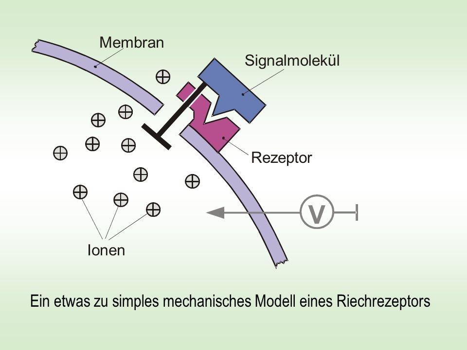 V Ein etwas zu simples mechanisches Modell eines Riechrezeptors