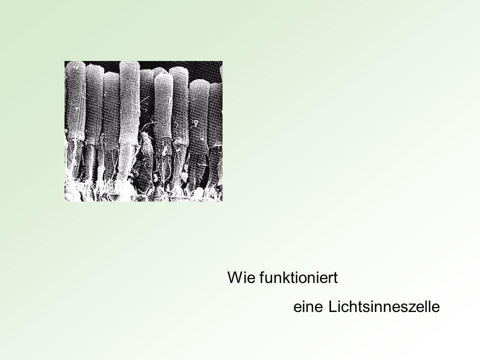 Wie funktioniert eine Lichtsinneszelle