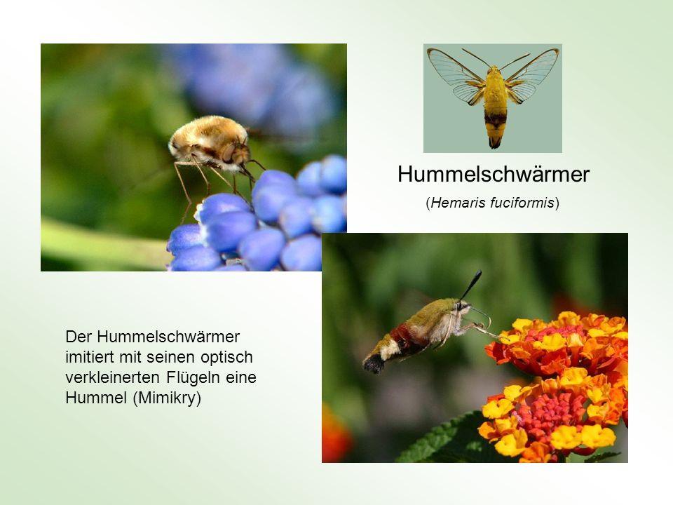 Hummelschwärmer (Hemaris fuciformis) Der Hummelschwärmer imitiert mit seinen optisch verkleinerten Flügeln eine Hummel (Mimikry)