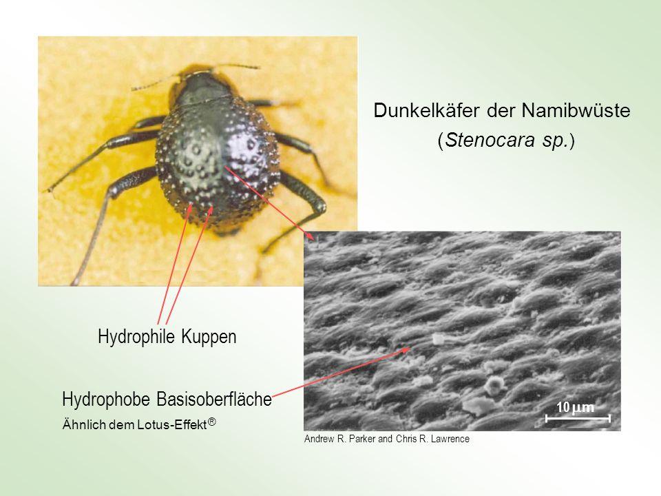 Dunkelkäfer der Namibwüste (Stenocara sp.)
