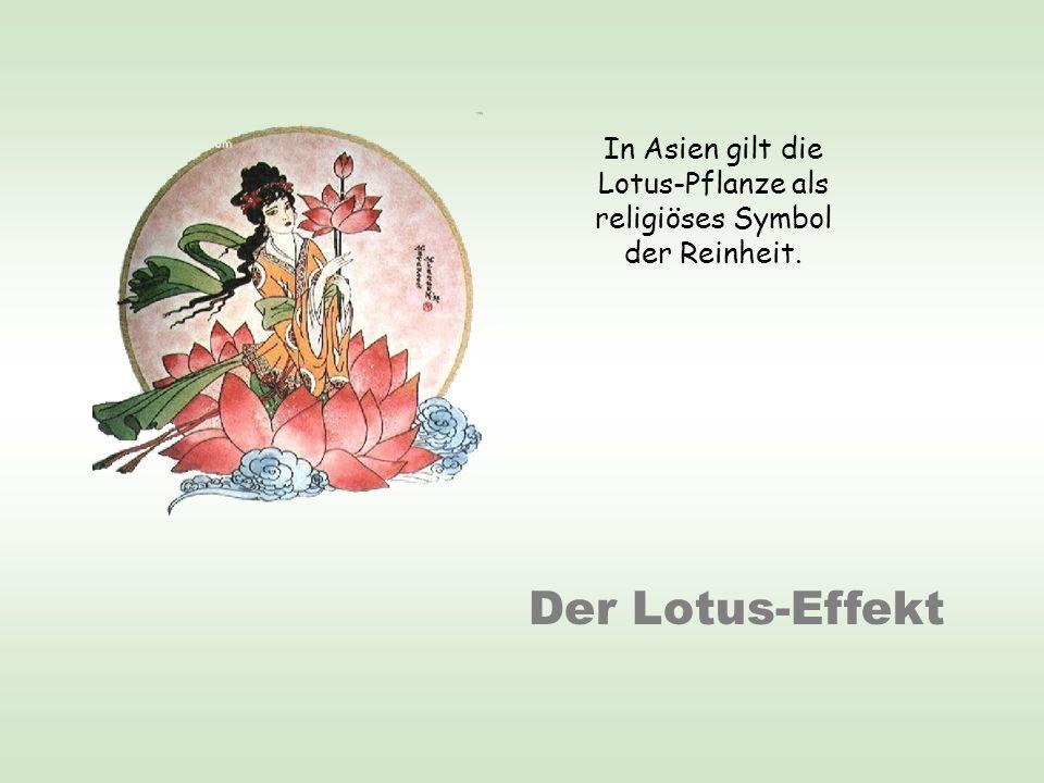 Der Lotus-Effekt In Asien gilt die Lotus-Pflanze als