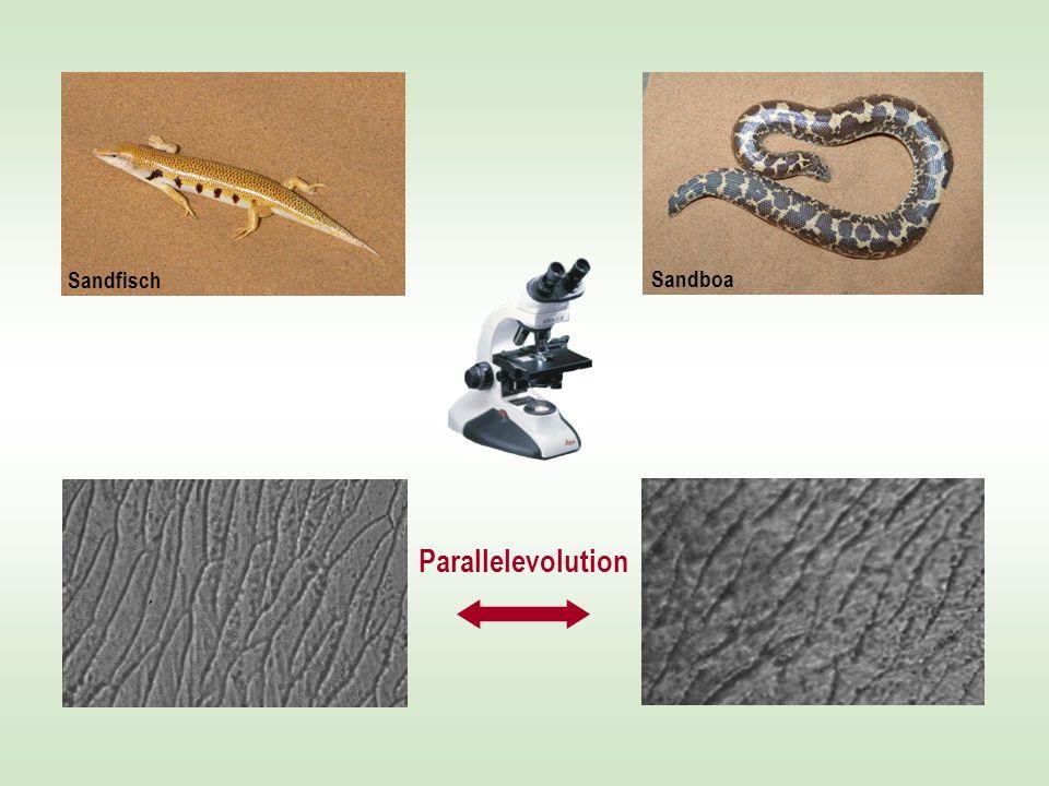 Sandfisch Sandboa Parallelevolution