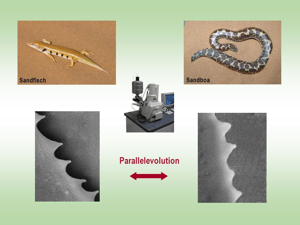 Sandfisch Sandskink Sandboa Parallelevolution