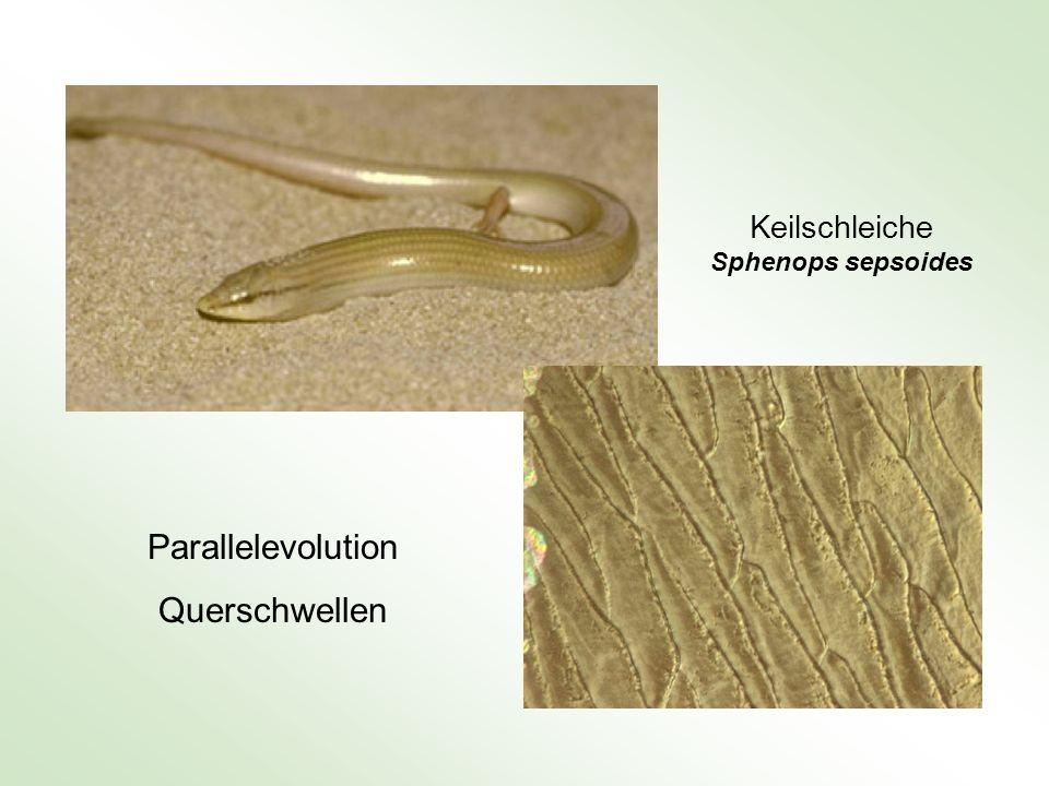 Keilschleiche Sphenops sepsoides