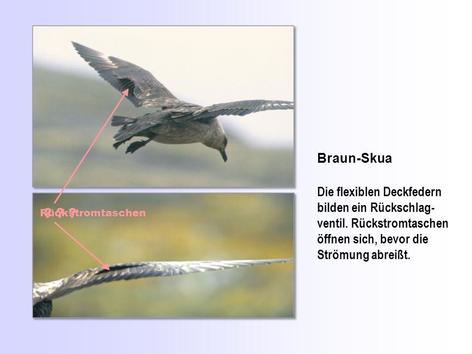 Braun-Skua Die flexiblen Deckfedern bilden ein Rückschlag-ventil. Rückstromtaschen öffnen sich, bevor die Strömung abreißt.