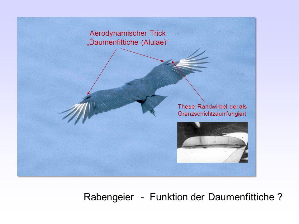 """Aerodynamischer Trick """"Daumenfittiche (Alulae)"""