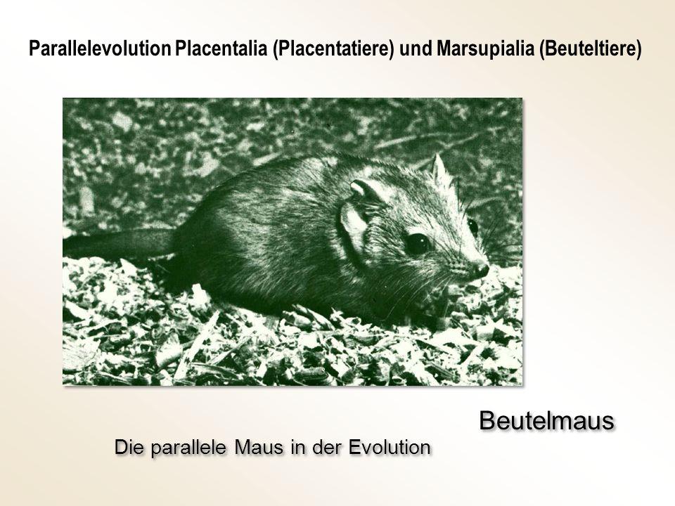Parallelevolution Placentalia (Placentatiere) und Marsupialia (Beuteltiere)