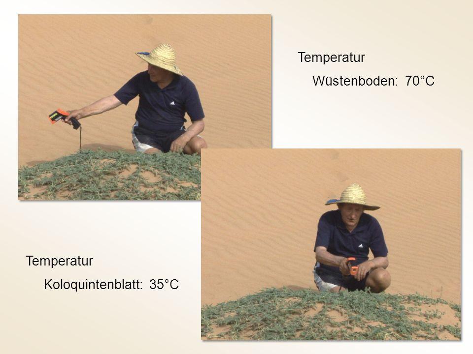 Temperatur Wüstenboden: 70°C Temperatur Koloquintenblatt: 35°C