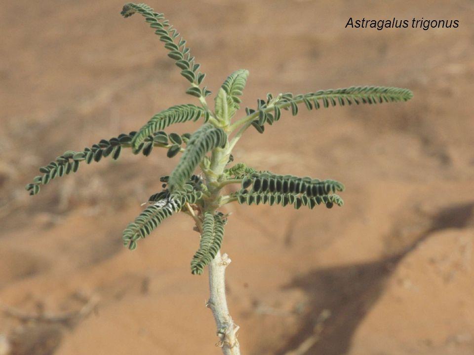 Astragalus trigonus