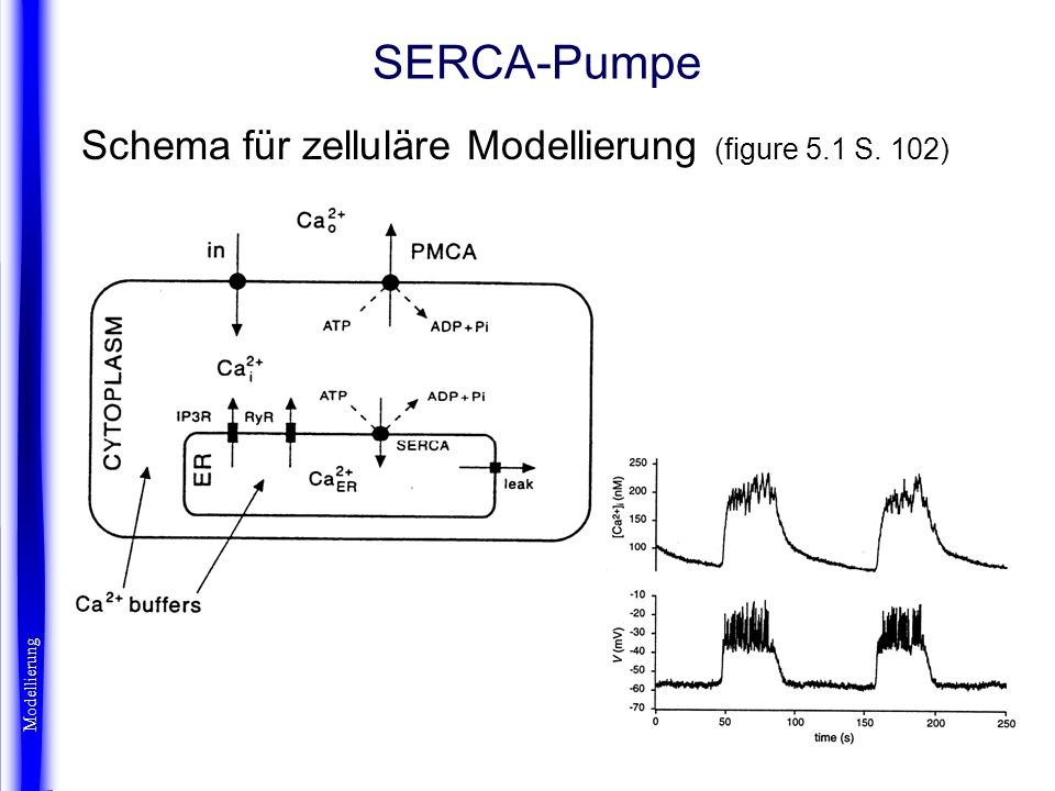 SERCA-Pumpe Schema für zelluläre Modellierung (figure 5.1 S. 102)