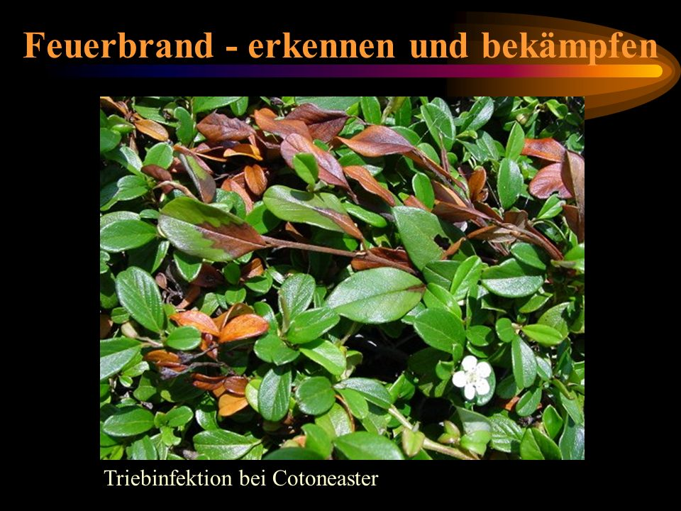 Cotoneaster Triebinfektion bei Cotoneaster