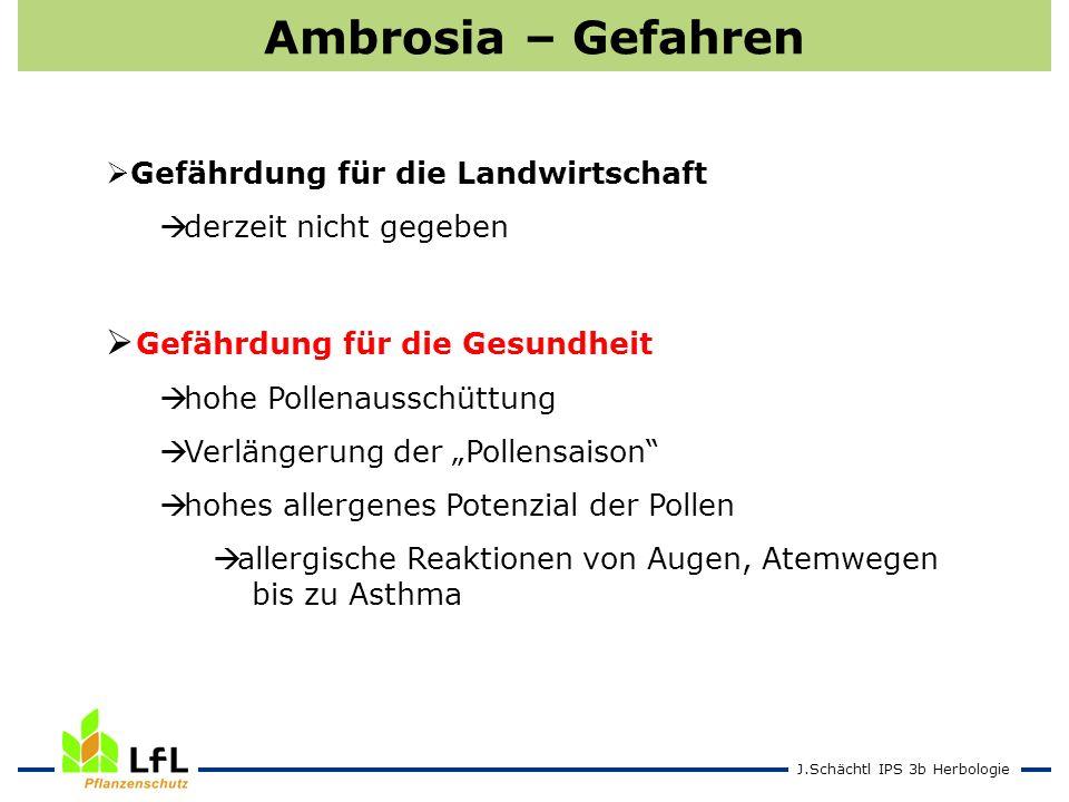 Ambrosia – Gefahren Gefährdung für die Gesundheit