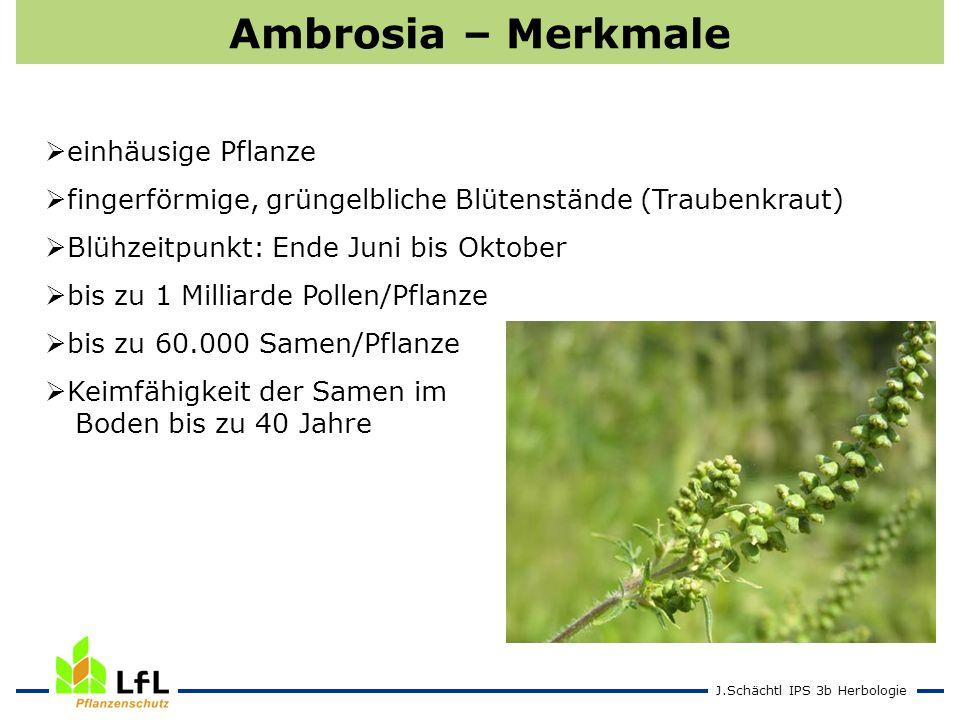 Ambrosia – Merkmale einhäusige Pflanze