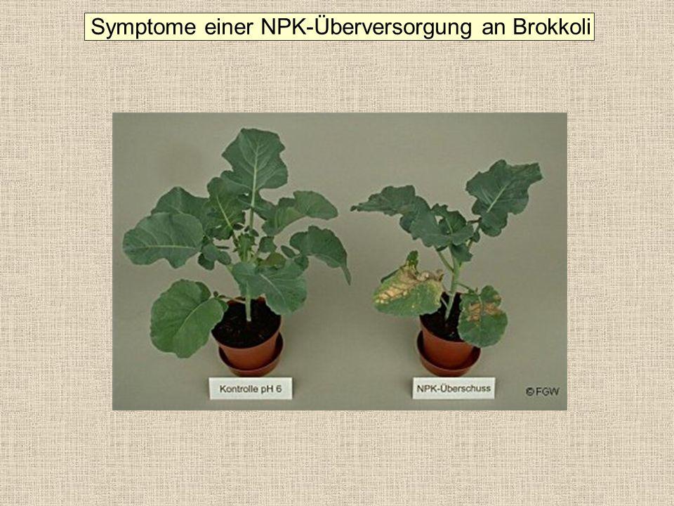 Symptome einer NPK-Überversorgung an Brokkoli