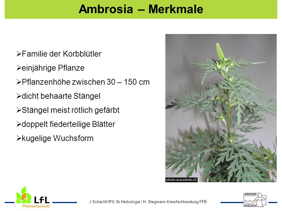 Ambrosia – Merkmale Familie der Korbblütler einjährige Pflanze