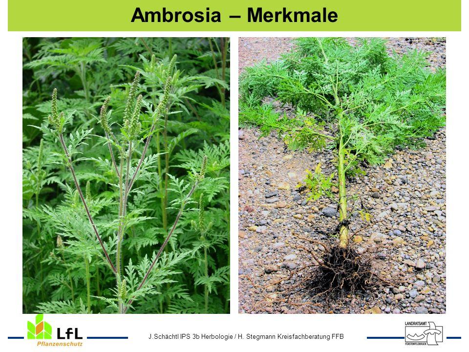 Ambrosia – Merkmale