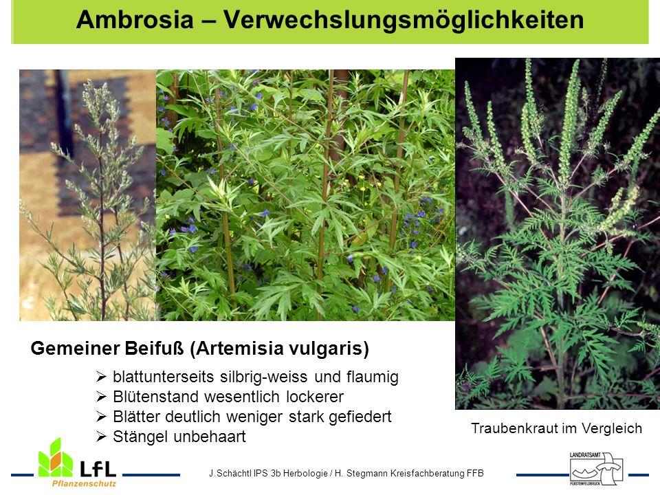 Ambrosia – Verwechslungsmöglichkeiten