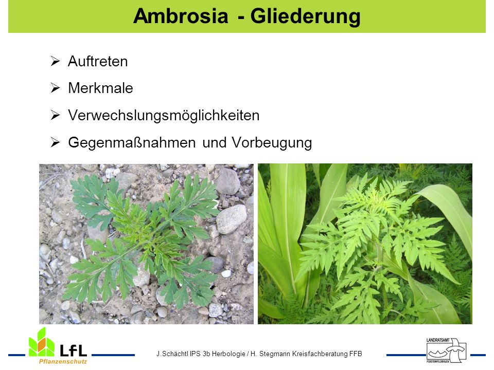 Ambrosia - Gliederung Auftreten Merkmale Verwechslungsmöglichkeiten