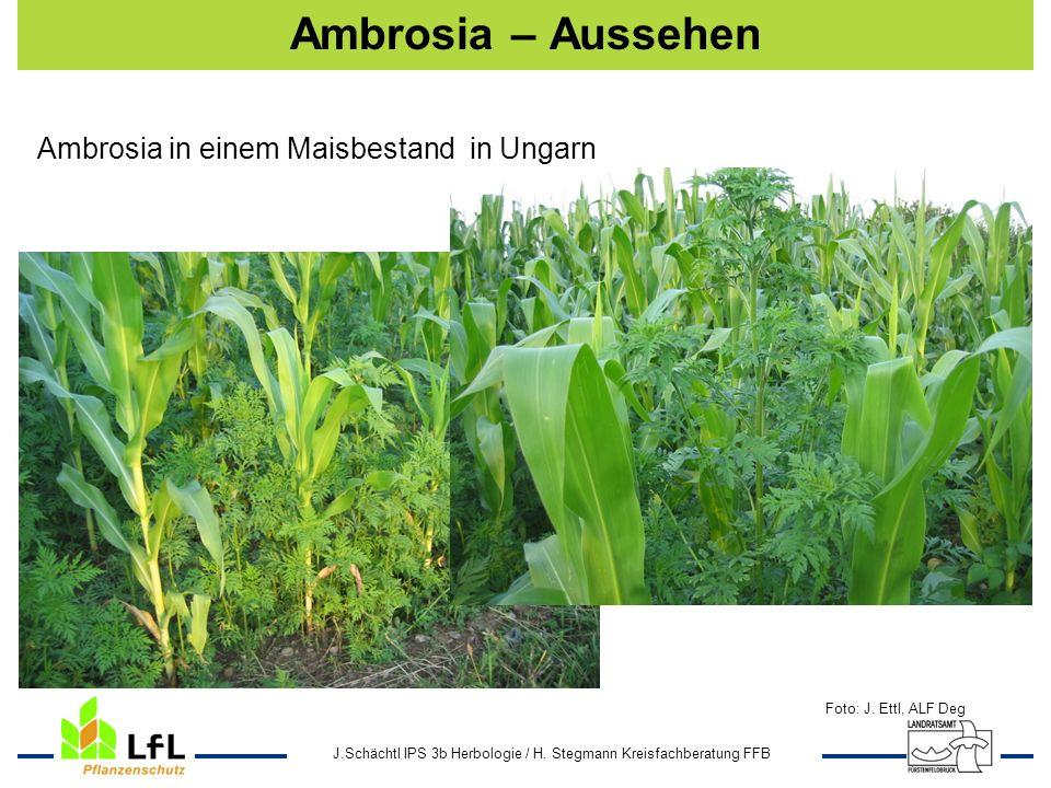Ambrosia – Aussehen Ambrosia in einem Maisbestand in Ungarn