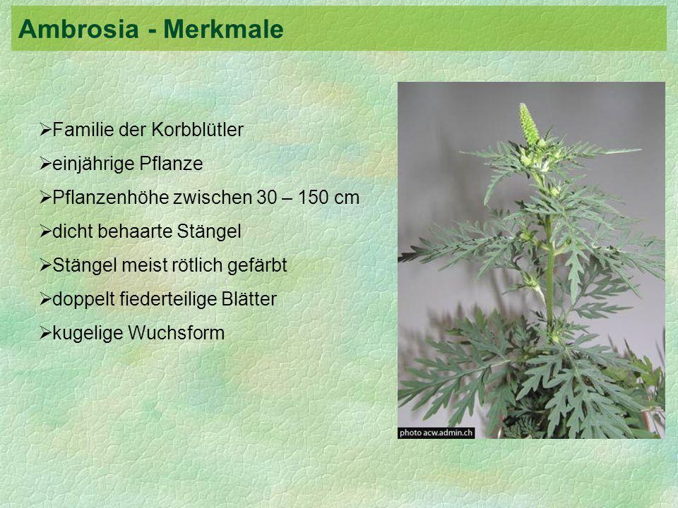 Ambrosia - Merkmale Familie der Korbblütler einjährige Pflanze