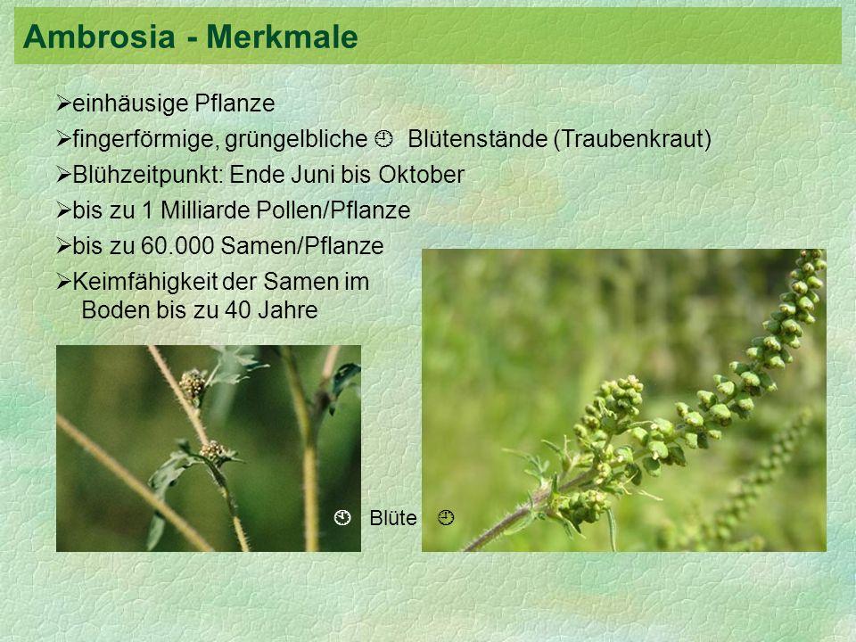 Ambrosia - Merkmale einhäusige Pflanze