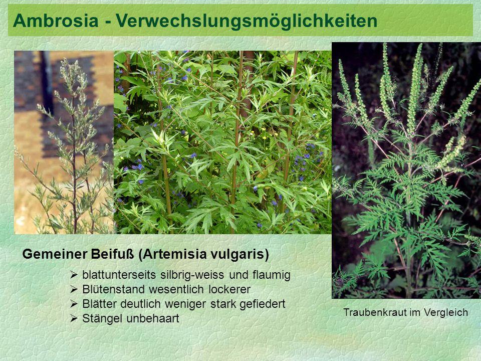 Ambrosia - Verwechslungsmöglichkeiten