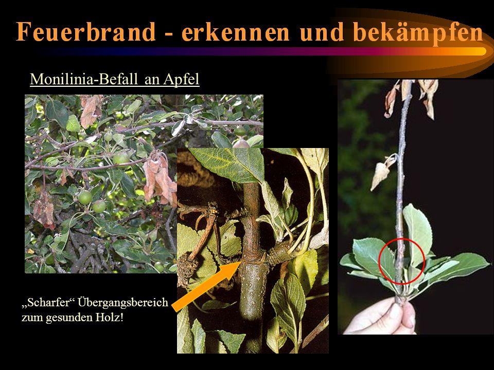 Monilinia-Befall an Apfel