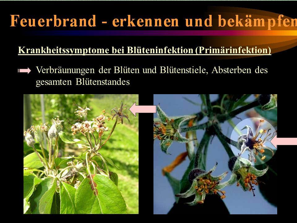 Krankheitssymptome-Blüteninfektion
