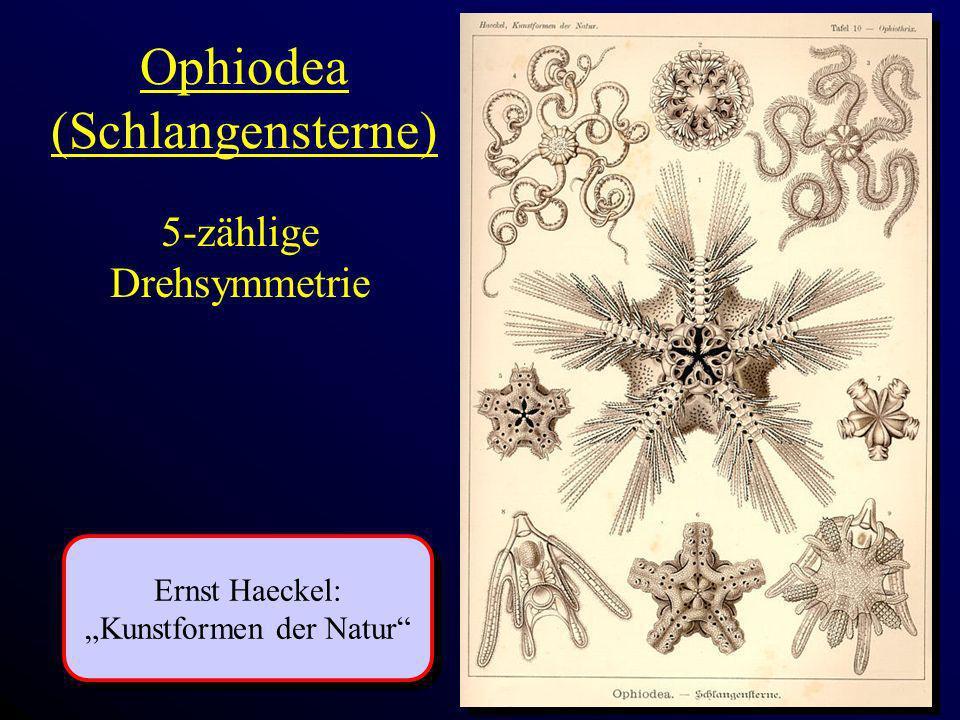 Ophiodea (Schlangensterne)
