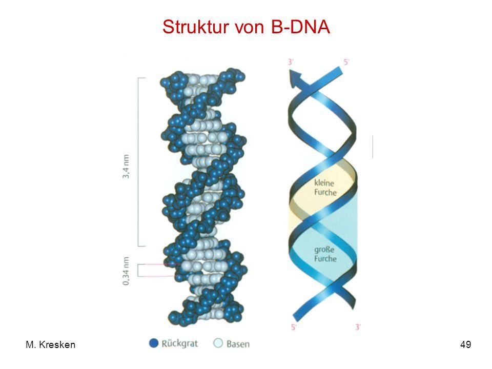 Struktur von B-DNA M. Kresken