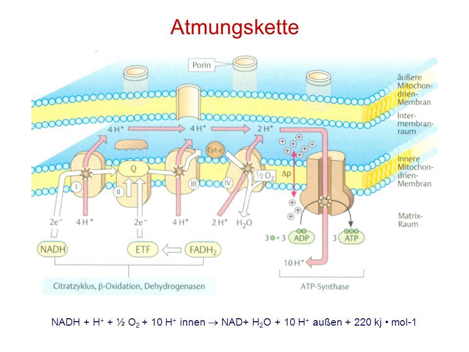 Atmungskette NADH + H+ + ½ O2 + 10 H+ innen  NAD+ H2O + 10 H+ außen + 220 kj • mol-1