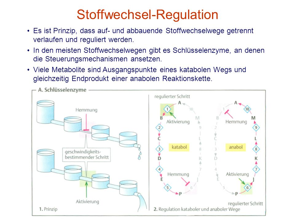 Stoffwechsel-Regulation
