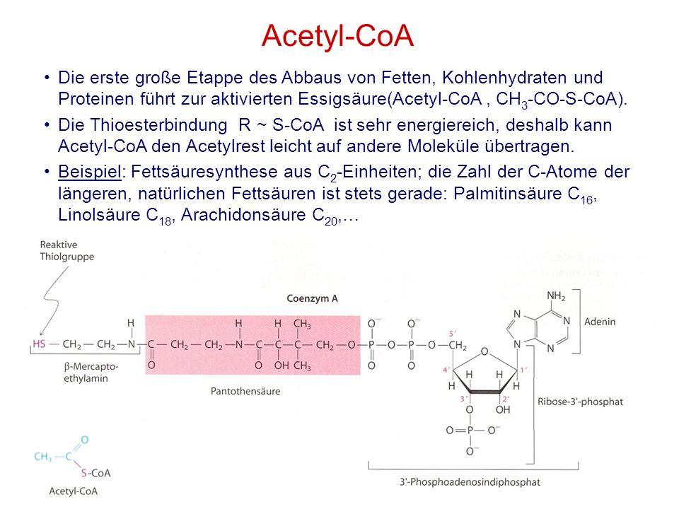Acetyl-CoADie erste große Etappe des Abbaus von Fetten, Kohlenhydraten und Proteinen führt zur aktivierten Essigsäure(Acetyl-CoA , CH3-CO-S-CoA).