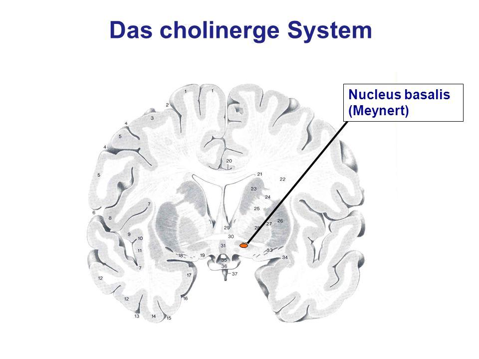 Das cholinerge System Nucleus basalis (Meynert)