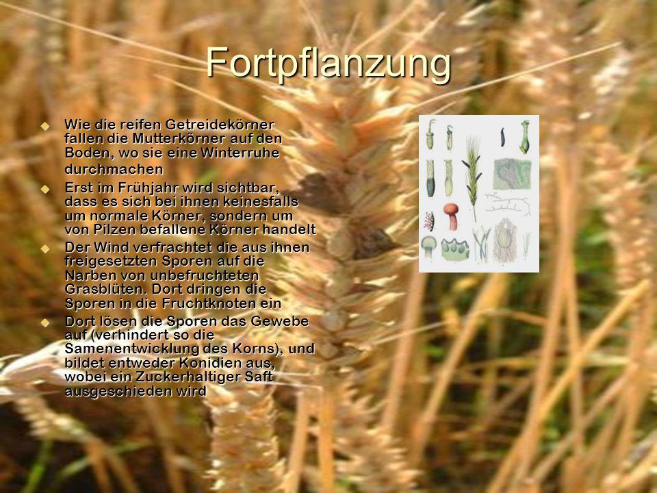 Fortpflanzung Wie die reifen Getreidekörner fallen die Mutterkörner auf den Boden, wo sie eine Winterruhe durchmachen.