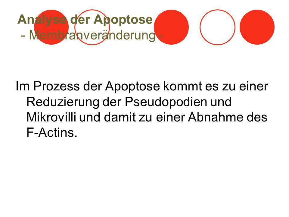 Analyse der Apoptose - Membranveränderung -