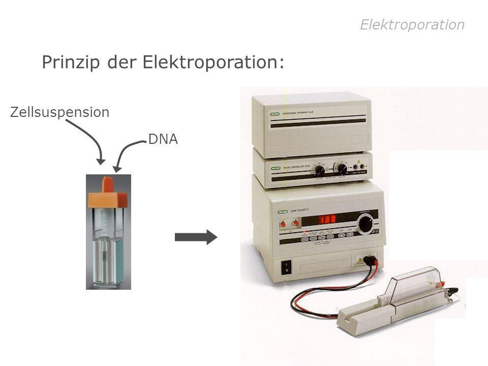 Prinzip der Elektroporation: