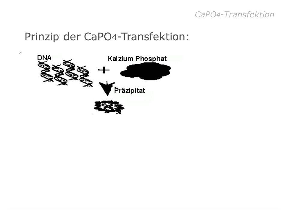 Prinzip der CaPO4-Transfektion: