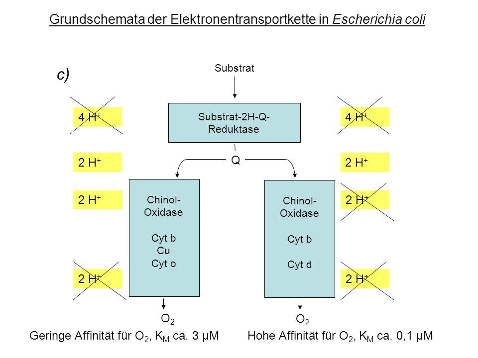 Grundschemata der Elektronentransportkette in Escherichia coli