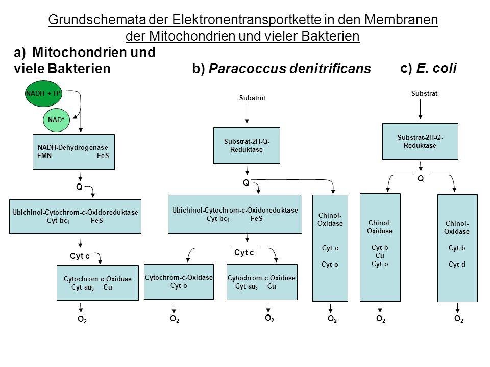 Grundschemata der Elektronentransportkette in den Membranen