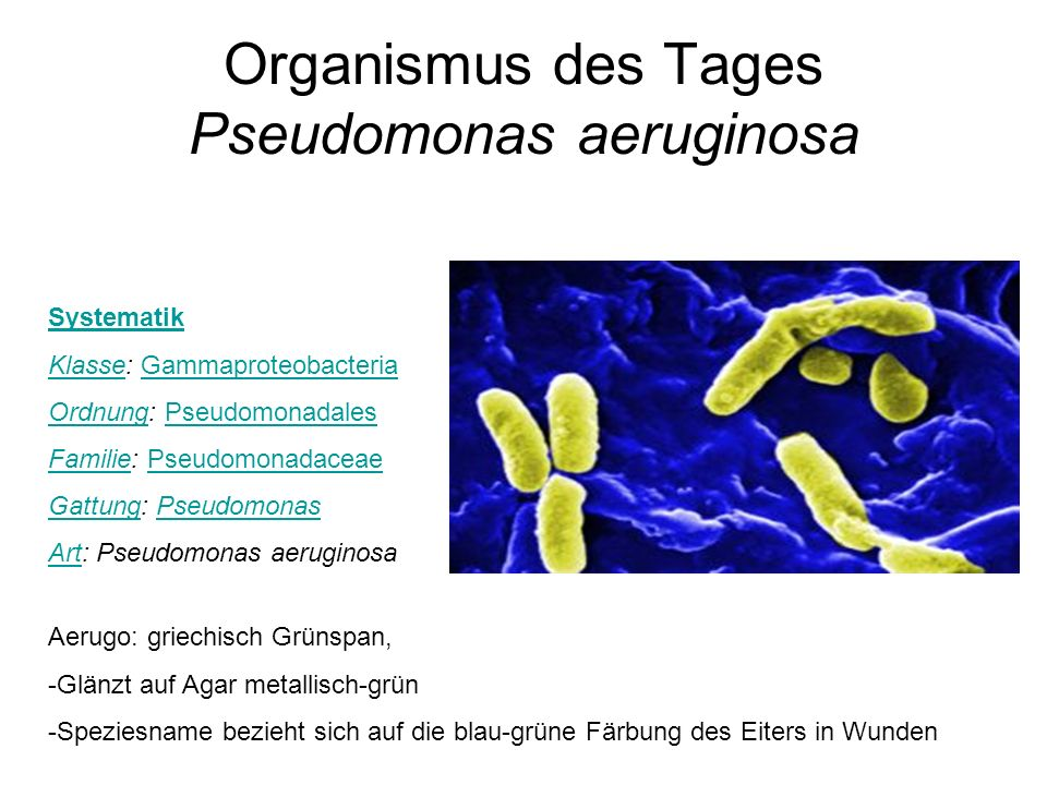 Organismus des Tages Pseudomonas aeruginosa