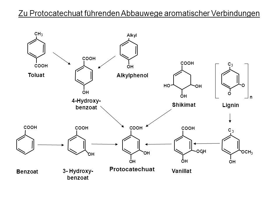 Zu Protocatechuat führenden Abbauwege aromatischer Verbindungen